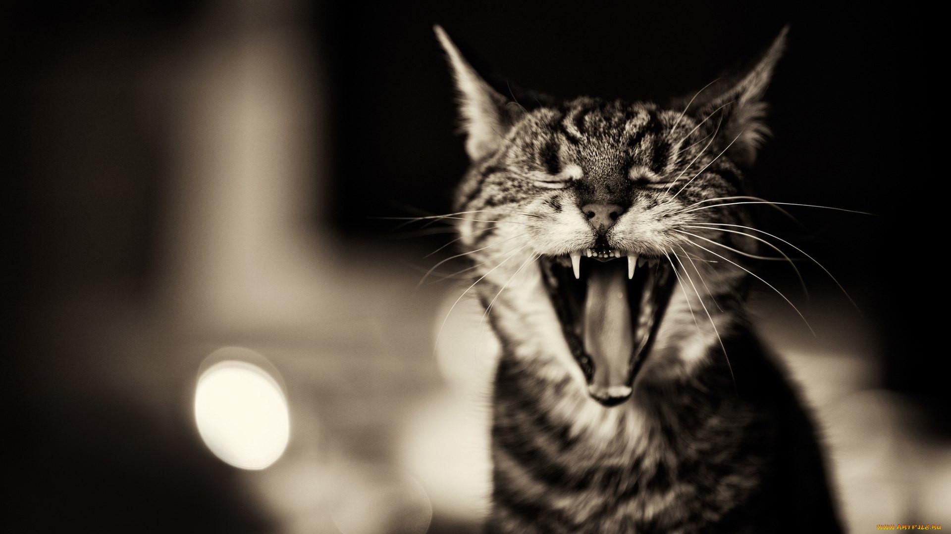 животные, коты, кот, зевает